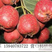辽宁山楂苗/山楂苗价格/山楂树