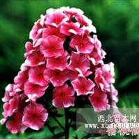 出售耐寒宿根花卉,适合园林绿化