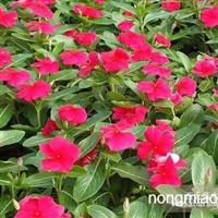 长春花,天天开,四季海棠,非洲凤仙
