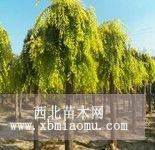 河北高接金叶榆苗木成树价格查询