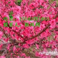 高原之火海棠、亚当海棠