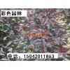 王族海棠苗、王族海棠成品树