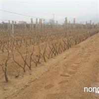 出售葡萄树 葡萄树
