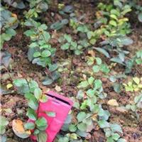 红火箭紫薇50-1米
