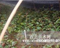 四川红火箭紫薇10-30cm