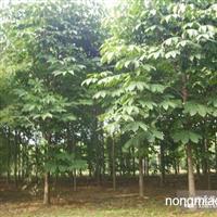 供应七叶树