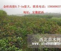 供应高度0.7-1m八月金桂优质小苗