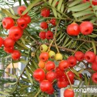 贵州南方红豆杉杯苗