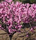 榆叶梅――园林景观的极品花