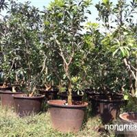 杨梅袋苗、挂果绿化大树