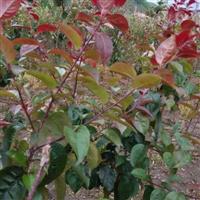 红叶李  加拿大红樱  魔力海棠