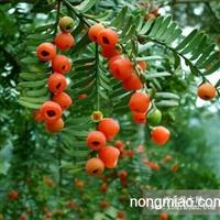 红豆杉种子价格