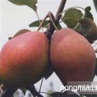 最新梨树苗价格山西梨树苗