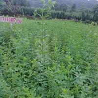 江西省哪里有迎春色块小苗卖?