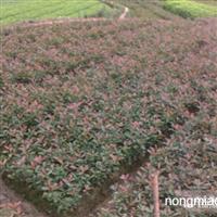 农户价出售红叶石楠工程色块苗