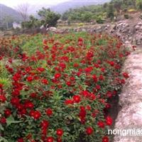江西省哪里有月季卖南昌工程色块苗