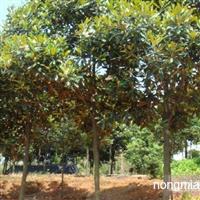 江西广玉兰哪里最便宜树型规模最大