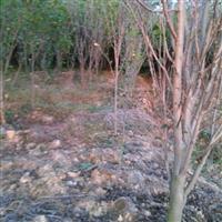 江西省木槿树1-7公分出售2万棵