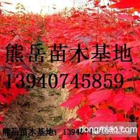 辽宁美国红枫树苗