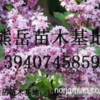 紫丁香绿化苗