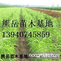 温室大棚专用油桃苗,辽宁中油四号