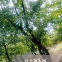 出售皂角树