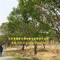 供应行道树白蜡