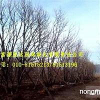 销售绿化苗木丛生五角枫