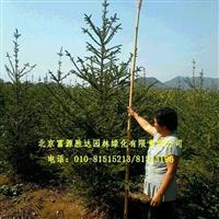 供应2-8米的红皮云杉