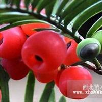 云南红豆杉 红豆杉的养殖方法和注