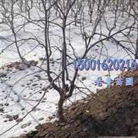 批发2-3年大枣树(骏枣、灰枣)