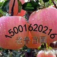 供应抗寒苹果苗