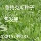常年供应银杏种子各种草坪种子