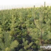 樟子松树苗供应50万颗