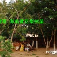 五黎哥海南黄花梨树苗,种子,联系
