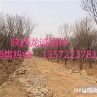 大量精品苗木供应