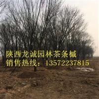 茶条槭-陕西龙诚园林茶条槭