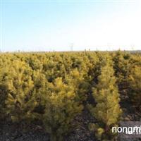 我公司现有大量绿化苗木出售