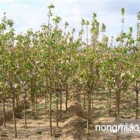 海棠树苗厂家直销质优价格低