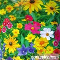 野花种子,野花组合,野花组合种子