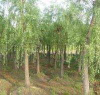 欢迎你绿化苗木花木垂柳 柳树