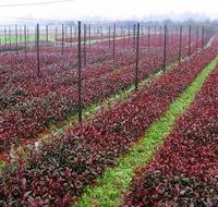 湖南浏阳绿化苗木花木红叶石楠