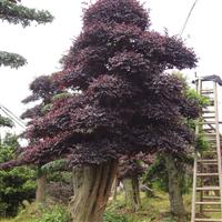 湖南绿化苗木花木红花继木造型树