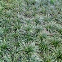 供应麦冬草、五叶地锦、红王子景代、紫微