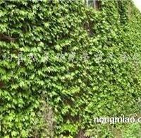 供应爬山虎、爬墙虎、三叶地锦、五叶地锦、爬行植物