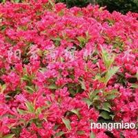 供应红王子锦带、红王子锦带花、夏季开花花卉