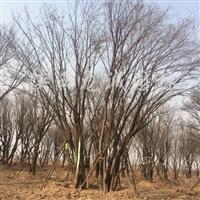 供应茶条槭