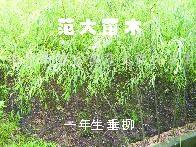 供应一年生垂柳、榉树、朴树、栾树、合欢、香樟