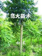 供应杜英、重阳木、移栽合欢、朴树、落羽杉、红叶椿等