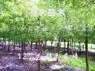 供应无患子、移栽香樟、合欢、榉树、朴树、栾树